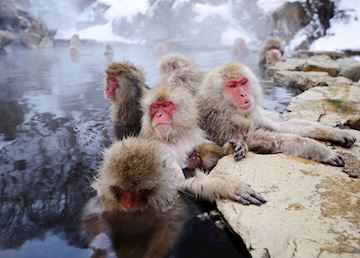 Japanese Snow Monkeys, Yudanaka Onsen