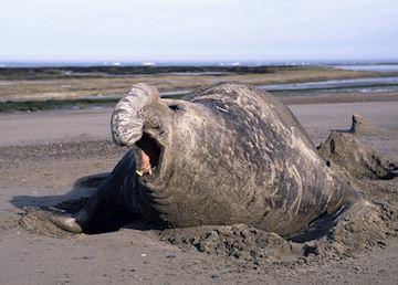 Elephant Seal, Peninsula Valdes