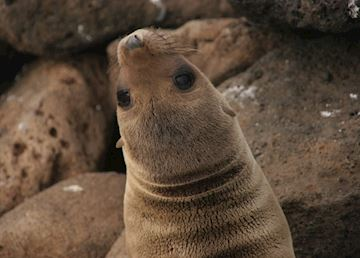 Sea lion pup, Galapagos Islands