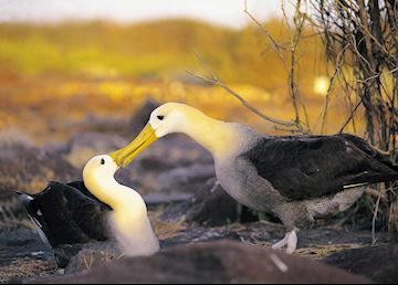 Waved albatross, Galapagos Islands