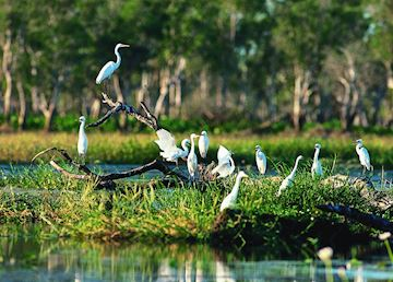 Egrets, Yellow Water Billabong, Kakadu National Park