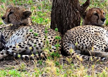 Two male cheetah, Serengeti