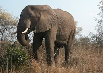 Bull elephant, Kruger National Park, South Africa