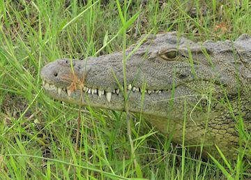 Crocodile, Chobe National Park, Botswana