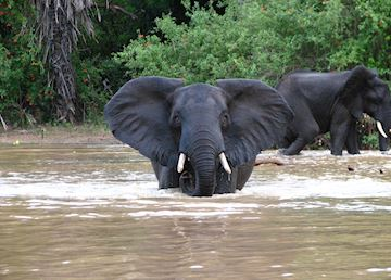 Elephant playing in the water in the Selous Game Reserve