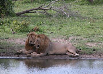 Lions, Greater Kruger Park