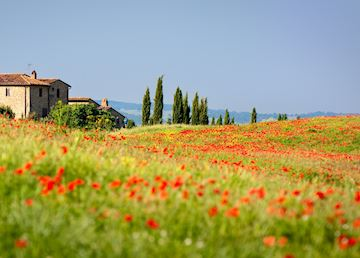 Poppies growing in Tuscany