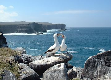 Masked boobies on Espanola Island, Galapagos Islands