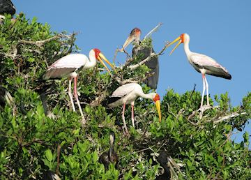 Storks, Botswana