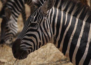 Zebra, Serengeti National Park, Tanzania