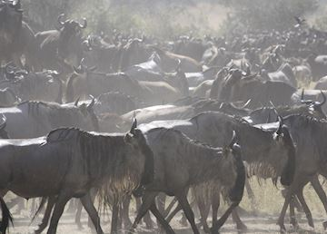 Wildebeast during The Great Migration, Serengeti National Park, Tanzania