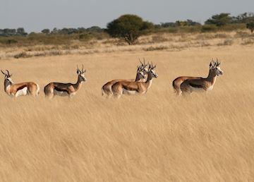 Impala in the Central Kalahari