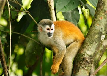 Squirrel monkey, Manuel Antonio, Costa Rica