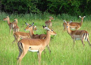 Impala in Ruaha National Park, Tanzania