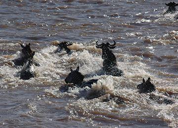 Zebra & wildebeest crossing the Mara River