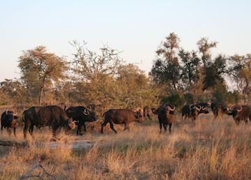 Buffalo Herd, Kwando Concession