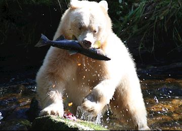 Kermode bear catching salmon, Princess Royal Island