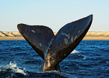 Southern right whale, off Peninsula Valdes, Argentina