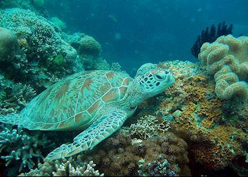 Turtle, Sipadan-Mabul, Malaysian Borneo