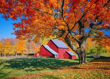A typical Vermont red barn and maple tree