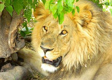 Lion, LInyanti Bush Camp, Linyanti Wetlands