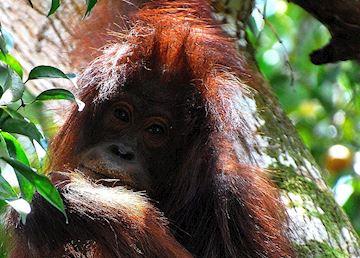 Female orangutan, Kinabatangan River, Malaysian Borneo