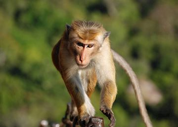 Macaques are a regular sighting throughout Sri Lanka