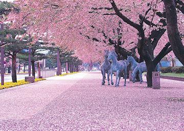 Cherry Blossom, Towada, Aomori