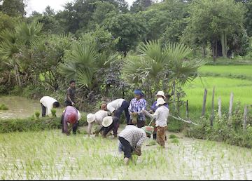 Young Khmer women working in the rice paddies