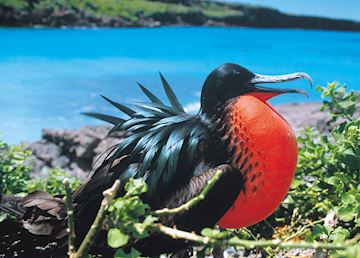 Great frigate bird, Galapagos Islands
