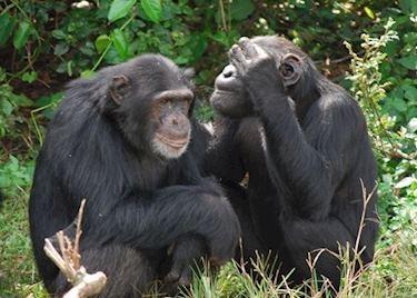 Chimpanzee trekking holidays in Africa | Audley Travel