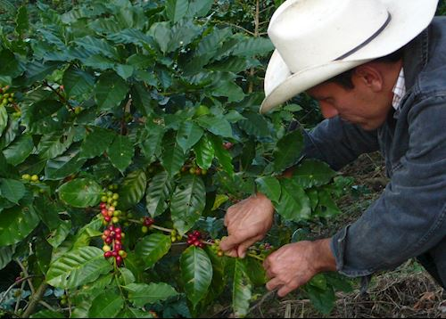 Coffee picking on the farm at El Cisne