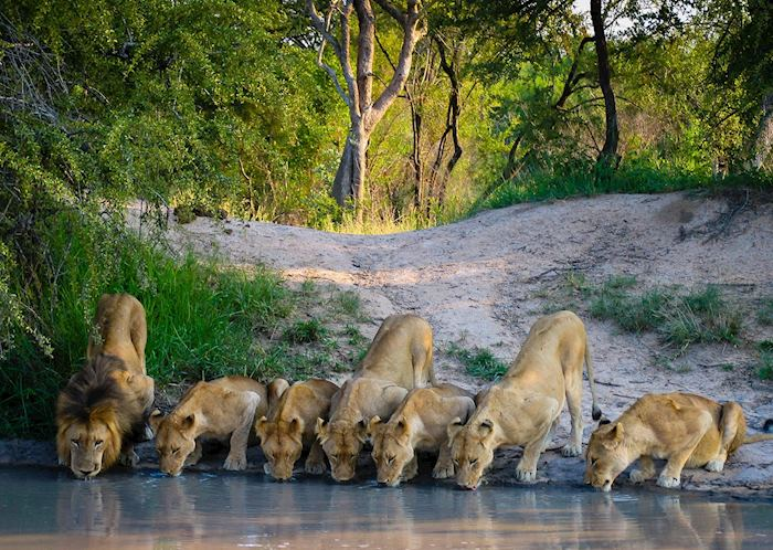 A pride of lions in the Kruger