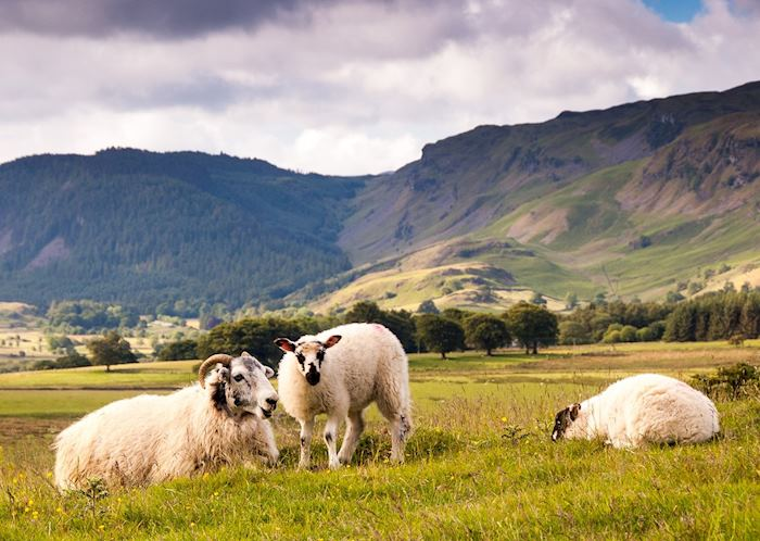 Lake District sheep