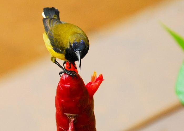 Sunbird at Gaya Island, Malaysian Borneo
