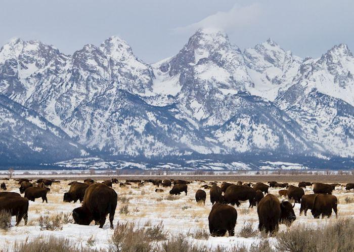 Bison, Teton