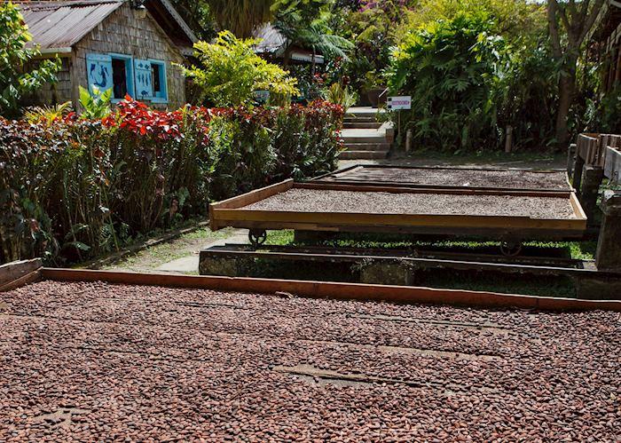 Cocoa Drying, Fond Doux Plantation & Resort, Saint Lucia
