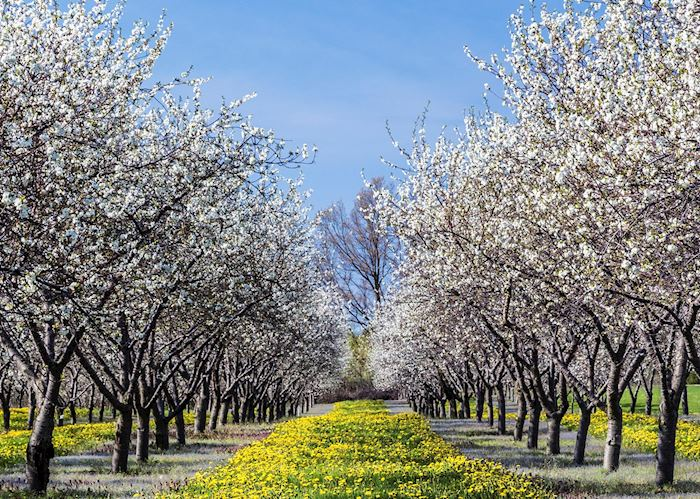 Cherry blossom outside Traverse City