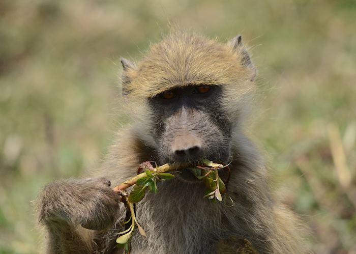 Baboon, Chobe River
