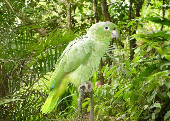 Minga Lodge's relatively tame parrot