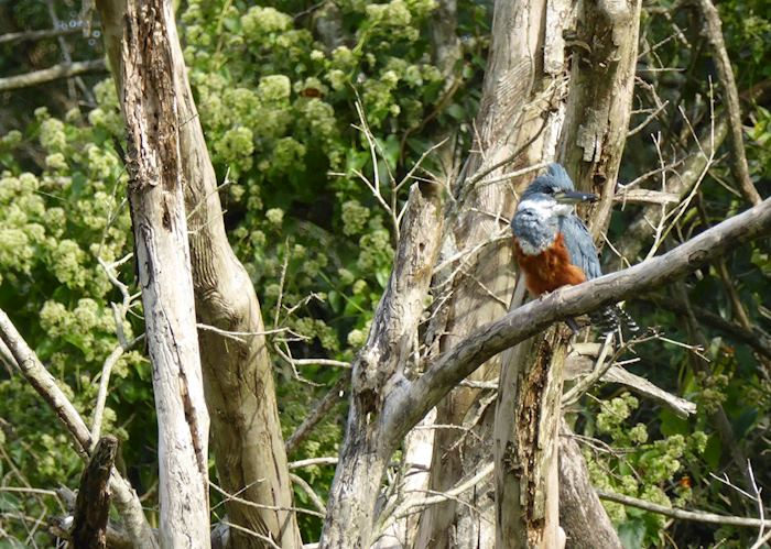 Kingfisher at Puerto Valle