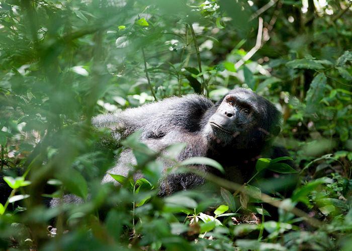 Chimpanzee relaxing in Kibale Forest