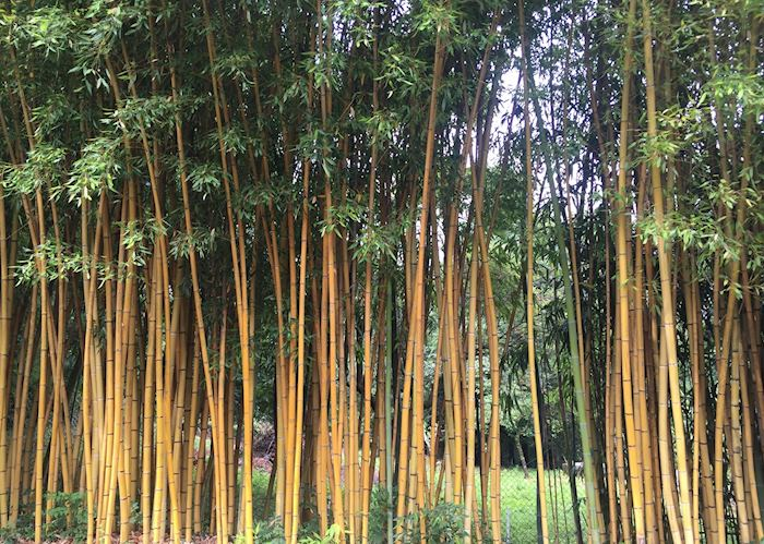Bamboo at Villa Carlotta, Lake Como