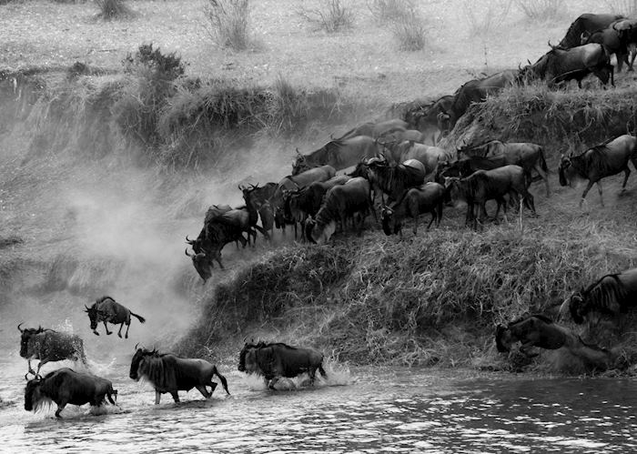Great Migration crossing the Mara river
