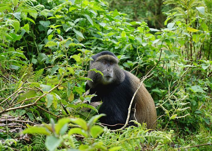 Golden Monkey in Volcanoes National Park