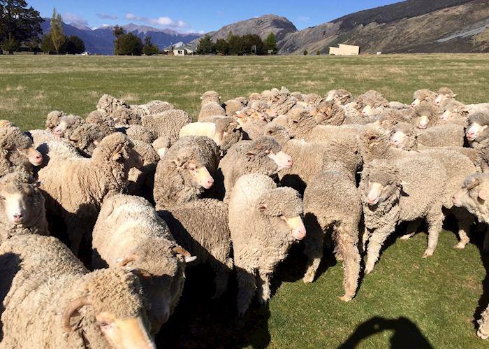 Sheep at the Cora Lynn Sheep Station at the Wilderness Lodge