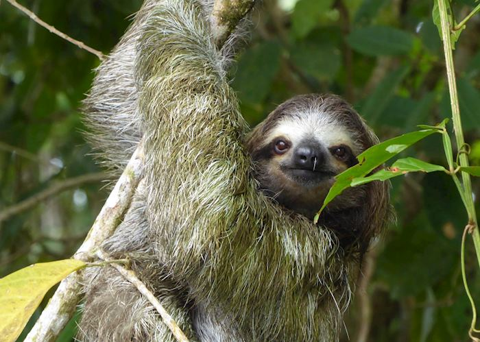 Sloth, Tortuguero National Park