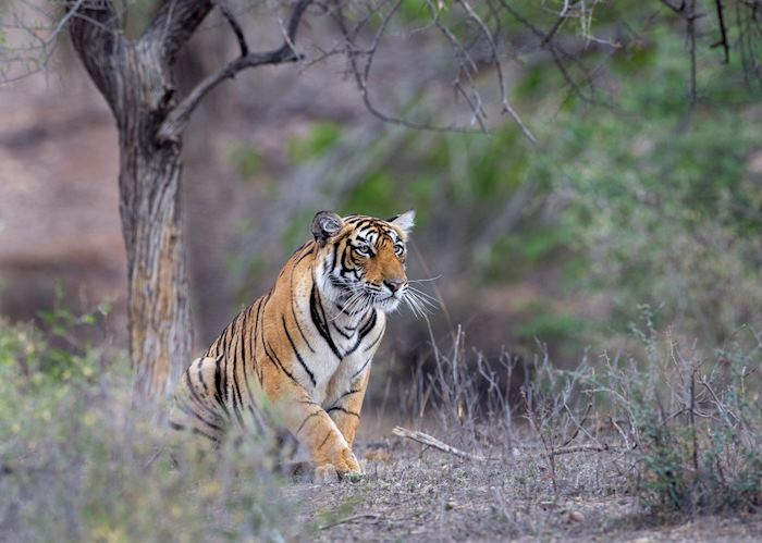 Tiger, Ranthambhore National Park