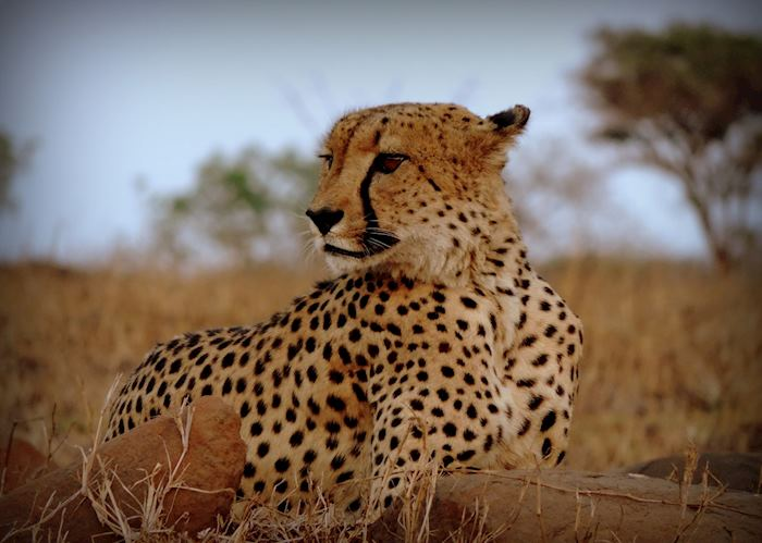 Cheetah at Leopard Mountain Game Lodge