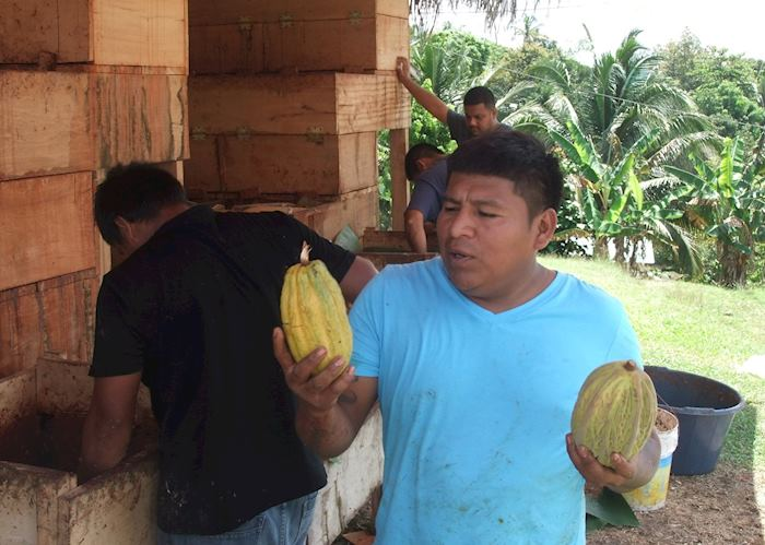 Explaining the cacao harvest